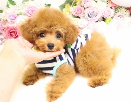 トイプードルの子犬(ID:1253111088)の3枚目の写真/更新日:2017-08-14