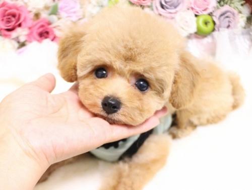 トイプードルの子犬(ID:1253111089)の1枚目の写真/更新日:2017-08-14