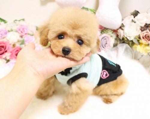 トイプードルの子犬(ID:1253111089)の2枚目の写真/更新日:2017-08-14