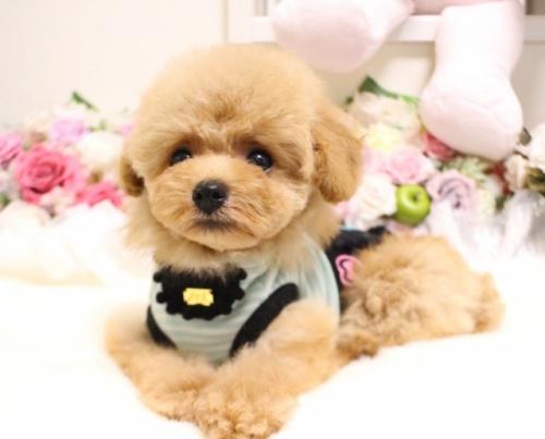 トイプードルの子犬(ID:1253111089)の3枚目の写真/更新日:2017-08-14