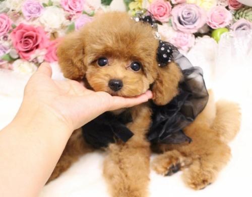 トイプードルの子犬(ID:1253111090)の1枚目の写真/更新日:2017-08-18