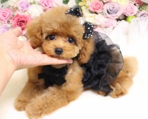 トイプードルの子犬(ID:1253111090)の2枚目の写真/更新日:2017-08-18