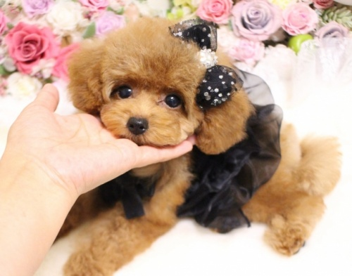 トイプードルの子犬(ID:1253111090)の3枚目の写真/更新日:2017-08-18