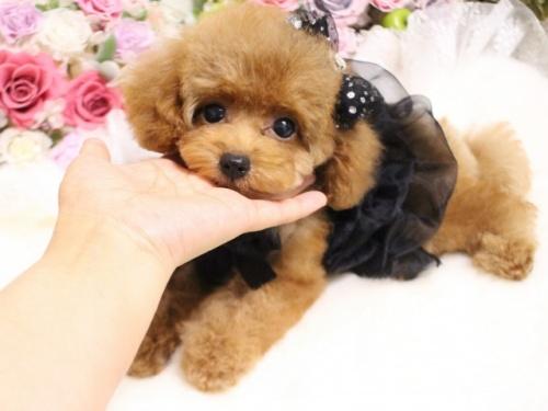 トイプードルの子犬(ID:1253111090)の4枚目の写真/更新日:2017-08-18