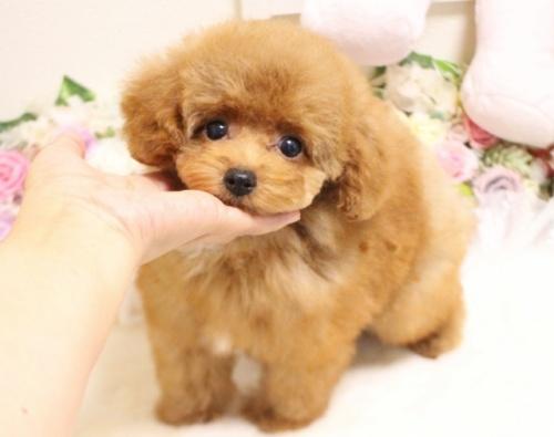 トイプードルの子犬(ID:1253111090)の5枚目の写真/更新日:2017-08-18