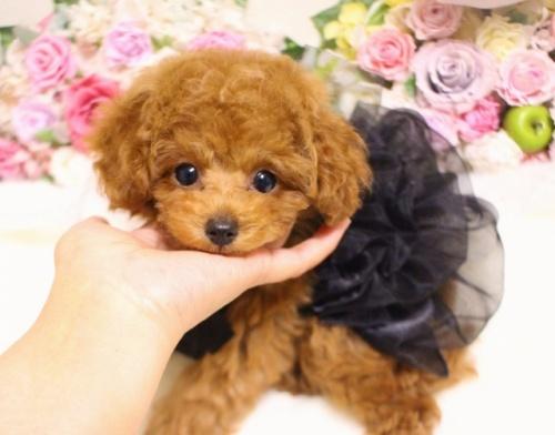 トイプードルの子犬(ID:1253111092)の1枚目の写真/更新日:2017-11-16