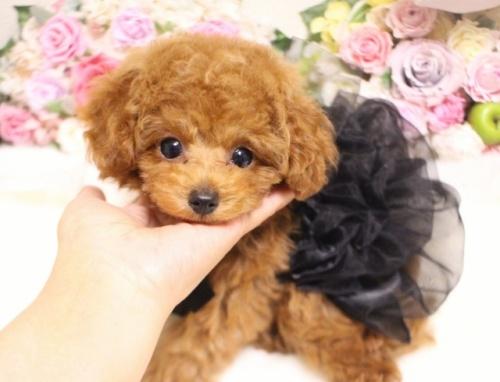 トイプードルの子犬(ID:1253111092)の2枚目の写真/更新日:2017-11-16