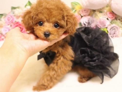 トイプードルの子犬(ID:1253111092)の3枚目の写真/更新日:2017-11-16
