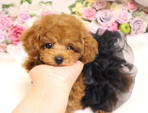 トイプードルの子犬(ID:1253111092)の4枚目の写真/更新日:2017-11-16