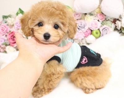 トイプードルの子犬(ID:1253111094)の1枚目の写真/更新日:2017-11-22