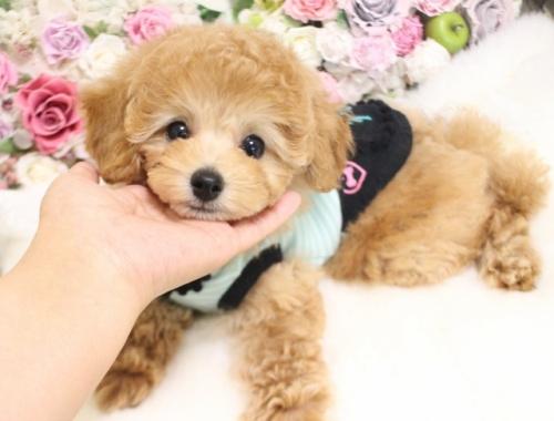 トイプードルの子犬(ID:1253111094)の3枚目の写真/更新日:2017-11-22