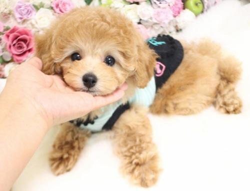 トイプードルの子犬(ID:1253111094)の4枚目の写真/更新日:2017-11-22