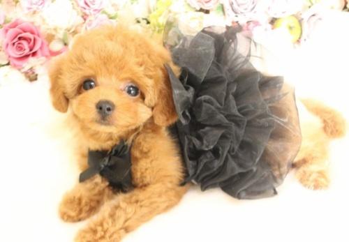 トイプードルの子犬(ID:1253111095)の1枚目の写真/更新日:2017-12-11