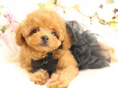 トイプードルの子犬(ID:1253111095)の2枚目の写真/更新日:2017-12-11