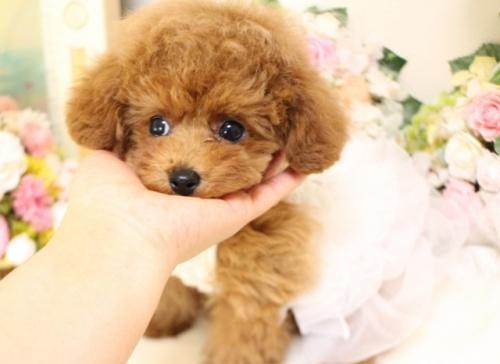 トイプードルの子犬(ID:1253111099)の1枚目の写真/更新日:2018-02-16