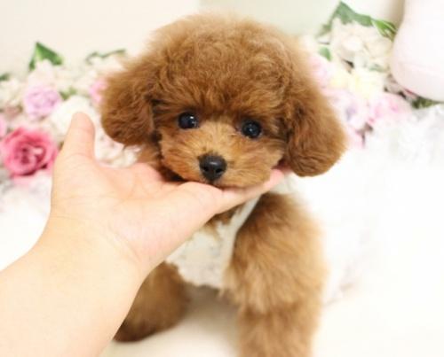 トイプードルの子犬(ID:1253111099)の2枚目の写真/更新日:2018-02-16