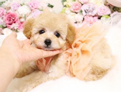 トイプードルの子犬(ID:1253111101)の1枚目の写真/更新日:2018-02-16