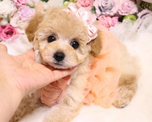 トイプードルの子犬(ID:1253111101)の2枚目の写真/更新日:2018-02-16