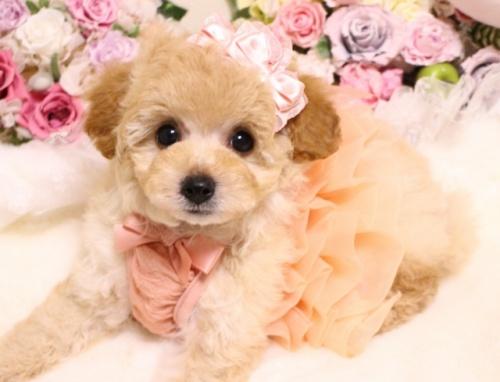 トイプードルの子犬(ID:1253111101)の3枚目の写真/更新日:2018-02-16