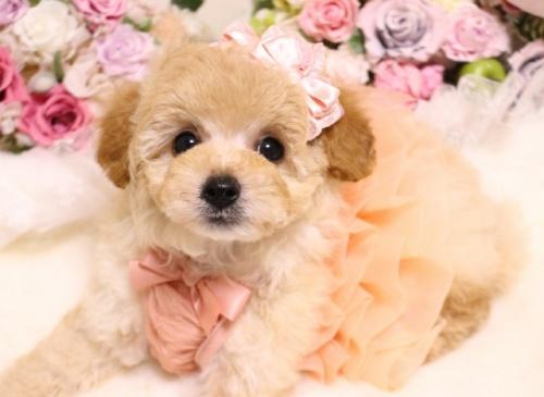 トイプードルの子犬(ID:1253111101)の4枚目の写真/更新日:2018-02-16