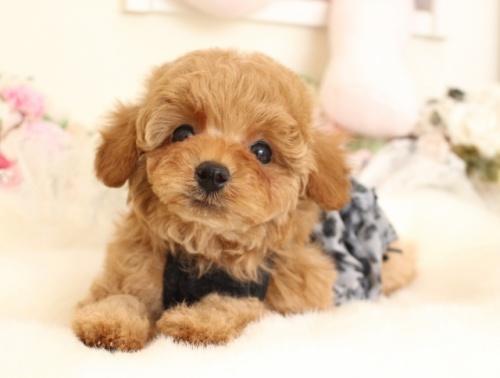 トイプードルの子犬(ID:1253111102)の3枚目の写真/更新日:2018-02-16