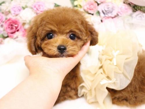 トイプードルの子犬(ID:1253111103)の1枚目の写真/更新日:2018-02-16