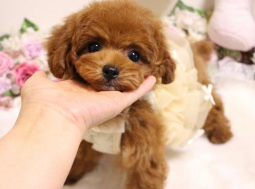 トイプードルの子犬(ID:1253111103)の3枚目の写真/更新日:2018-02-16
