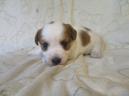 ジャックラッセルテリアの子犬(ID:1253411070)の1枚目の写真/更新日:2021-08-12