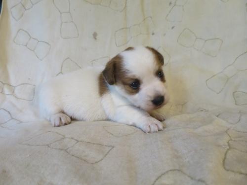 ジャックラッセルテリアの子犬(ID:1253411070)の2枚目の写真/更新日:2021-08-12
