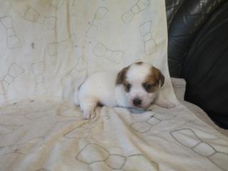 ジャックラッセルテリアの子犬(ID:1253411070)の4枚目の写真/更新日:2021-08-12