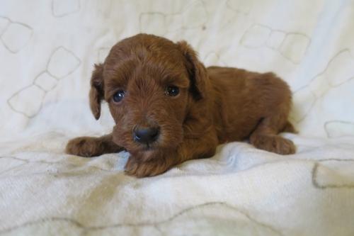 トイプードルの子犬(ID:1253411075)の2枚目の写真/更新日:2018-11-19