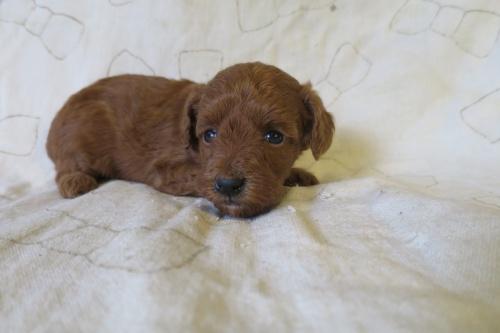 トイプードルの子犬(ID:1253411075)の3枚目の写真/更新日:2018-11-19