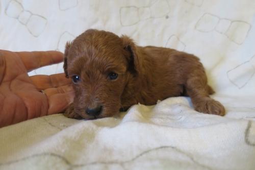 トイプードルの子犬(ID:1253411075)の4枚目の写真/更新日:2018-11-19