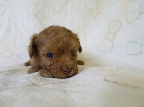 トイプードルの子犬(ID:1253411076)の1枚目の写真/更新日:2016-11-28