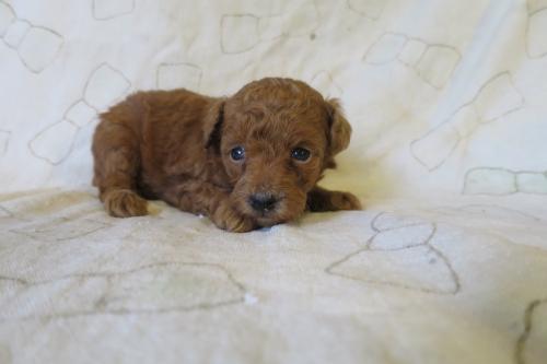 トイプードルの子犬(ID:1253411076)の2枚目の写真/更新日:2018-11-19
