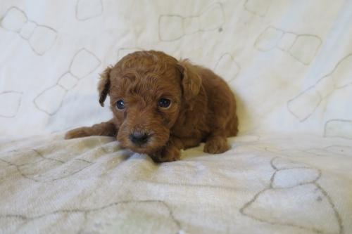 トイプードルの子犬(ID:1253411076)の3枚目の写真/更新日:2018-11-19