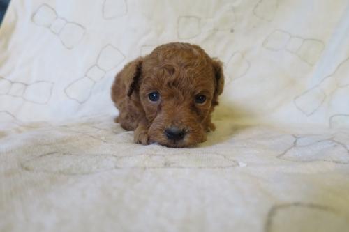 トイプードルの子犬(ID:1253411076)の4枚目の写真/更新日:2018-11-19