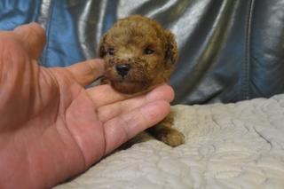 トイプードルの子犬(ID:1253411077)の1枚目の写真/更新日:2018-09-18