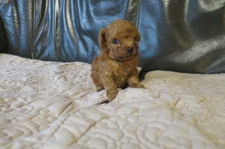 トイプードルの子犬(ID:1253411077)の3枚目の写真/更新日:2018-09-18