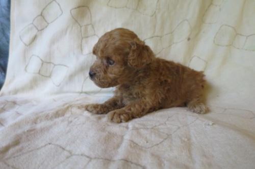 トイプードルの子犬(ID:1253411078)の2枚目の写真/更新日:2018-09-05