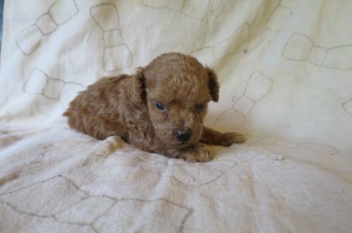 トイプードルの子犬(ID:1253411078)の3枚目の写真/更新日:2018-09-05