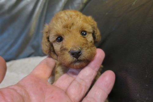 トイプードルの子犬(ID:1253411079)の1枚目の写真/更新日:2018-09-05