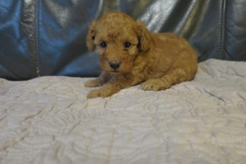 トイプードルの子犬(ID:1253411079)の2枚目の写真/更新日:2018-09-05