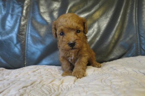 トイプードルの子犬(ID:1253411080)の1枚目の写真/更新日:2018-09-03