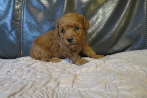 トイプードルの子犬(ID:1253411080)の2枚目の写真/更新日:2018-09-03