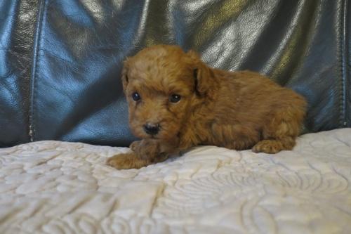 トイプードルの子犬(ID:1253411080)の3枚目の写真/更新日:2018-09-03