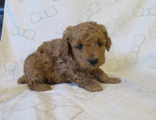 トイプードルの子犬(ID:1253411081)の2枚目の写真/更新日:2016-12-15