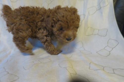 トイプードルの子犬(ID:1253411082)の1枚目の写真/更新日:2018-10-11