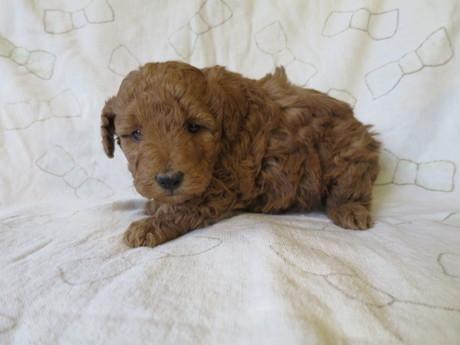 トイプードルの子犬(ID:1253411083)の2枚目の写真/更新日:2017-02-25