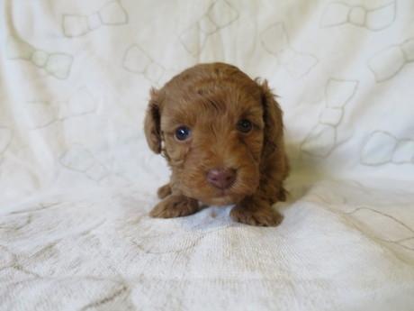 トイプードルの子犬(ID:1253411084)の1枚目の写真/更新日:2017-02-25